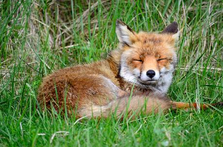 vos in het gras