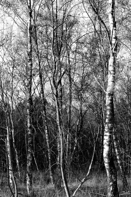 Berkenbos in zwart-wit