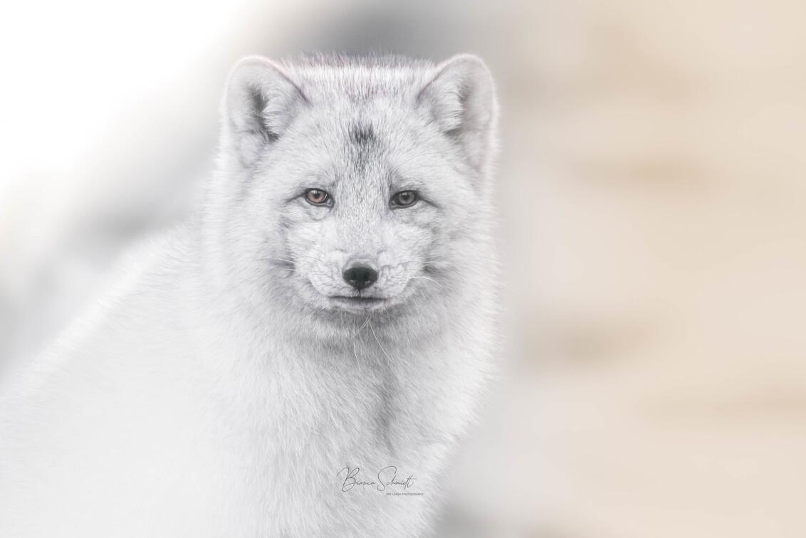 Arctic fox - - - foto door Bianca Schmidt op 26-02-2021 - deze foto bevat: natuur, dieren, huisdier, vos, wildlife