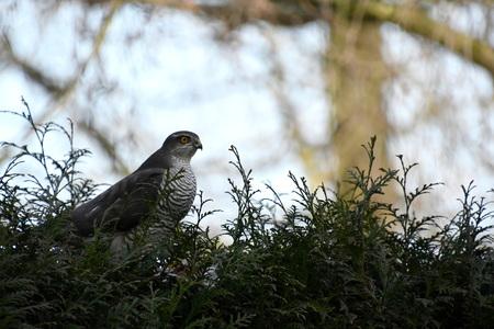 Zomaar op zaterdagmiddag - Zomaar op zaterdagmiddag in de achtertuin. Een sperwer met in haar klauwen nog een rest van de duif die zij buit heeft gemaakt. Ik denk dat ze van he - foto door Dieke Steeg op 27-02-2021 - deze foto bevat: boom, natuur, licht, tuin, blad, dieren, vogel, landschap, sperwer, ogen, roofvogel, nederland, prooi, snavel