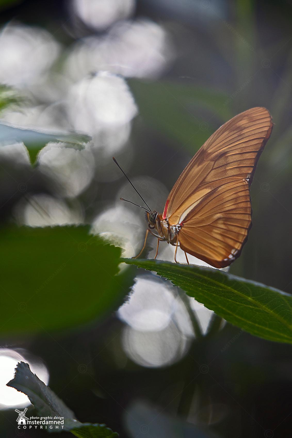 Vlinders aan de Vliet - Als vlinders zou met hun vleugels dichtgeklapt zitten zijn ze makkelijk te fotograferen ... maar daarna komt elke keer het zoekplaatje .... welke vli - foto door amsterdamned_zoom op 12-11-2020 - deze foto bevat: macro, vlinder, insect, holland, nederland, leidschendam, passiebloemvlinder, amsterdamned, vlinders aan de vliet, Zuid Holland, Dryas iulia