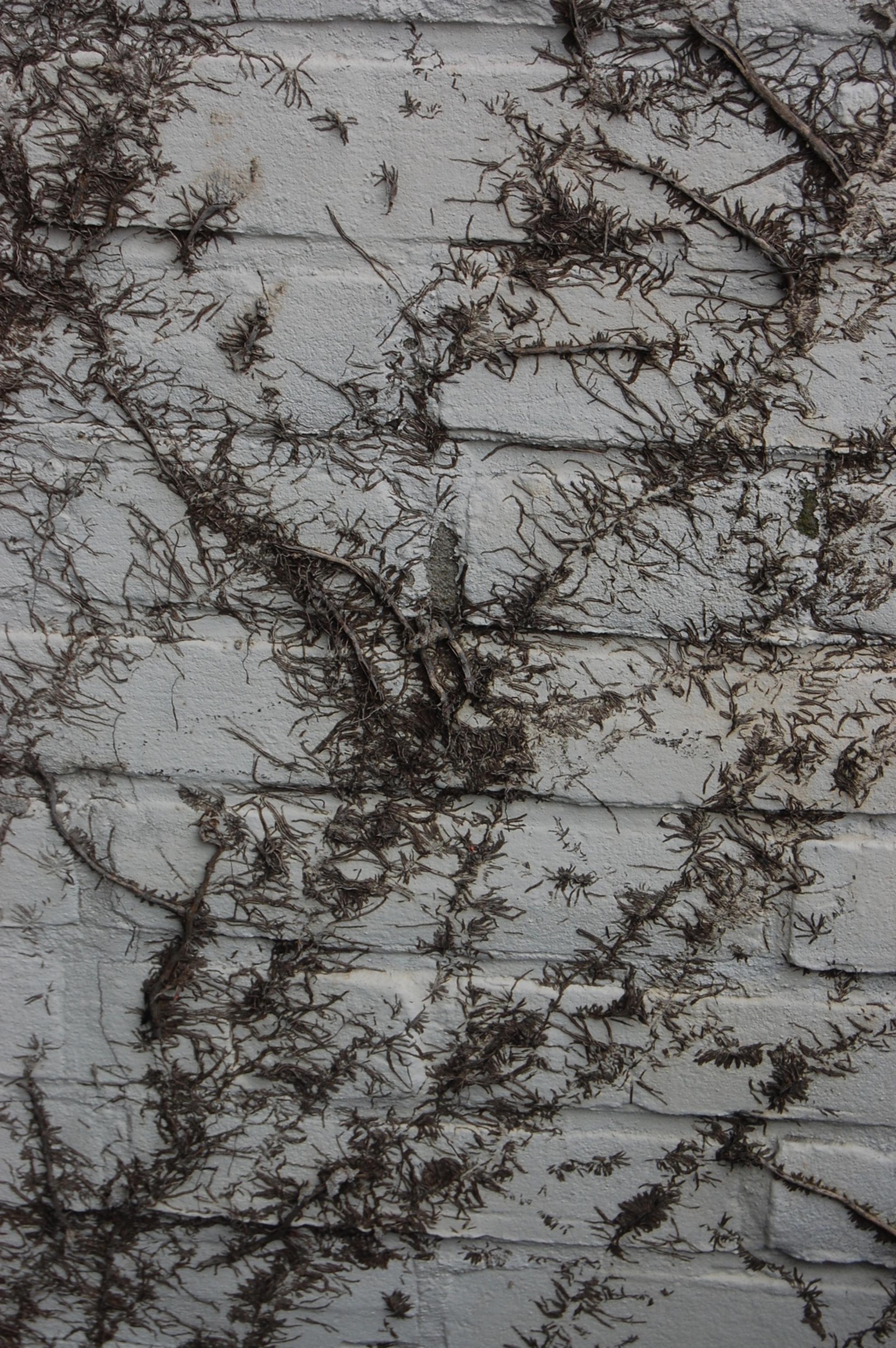 Begroeide muur - Hier een foto van een eens zo mooi begroeide muur. De planten zijn eraf en dit de overblijfselen. - foto door Buffalo op 14-02-2009 - deze foto bevat: klimop, muur, begroeid