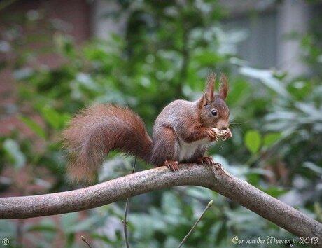 Rode eekhoorn uit Putten gelderland.