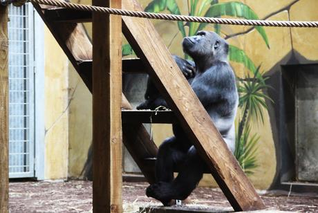 De nadenkende gorilla
