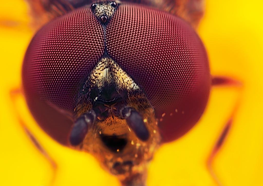 Kopje - van een klein zweefvliegje, gemaakt met vergrotingsfactor 8, f/8, ISO 100 en 1/250 sec. De grote versie is te zien op  [url]http://www.huubdewaardm - foto door hwdewaard op 23-04-2012 - deze foto bevat: macro, natuur, vlieg, portret, insect, dier, detail, micro, huub, zweefvliegje, Zoom.nl