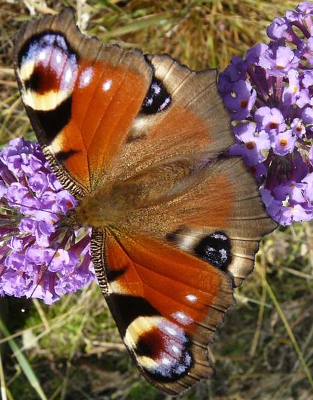 Dagpauwoog - Vondt ik vroeger al een hele mooie vlinder en dat is hij nog steeds.  Die vlinder planten in de tuin werken nu op z'n best Zelfde vlinder al net ge - foto door batsboer op 27-07-2008 - deze foto bevat: vlinder, dagpauwoog, tuin, batsboer