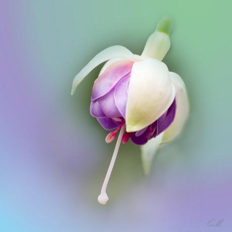 Fuchsia, een vrolijk bloemetje