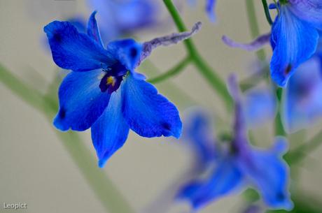 Blauwe bloemetjes 7202.jpg