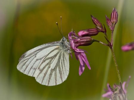 KGW - Klein geaderd witje. - foto door JanvanO op 27-09-2012 - deze foto bevat: macro, wit, natuur, vlinder, butterfly, janvano, klein geaderd witje, Sigma 150mm, pierris napi