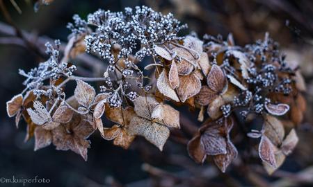 Hortensia - De eerste nachtvorst van het jaar 2021. de Hortensia is prachtig verkleurd en heeft een mooi rijp laagje. - foto door Marian-K op 09-01-2021 - deze foto bevat: macro, bloem, natuur, rijp, winter, hortensia, vlindertuin, verdorring