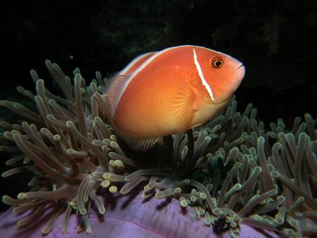 Nemo op anemoon