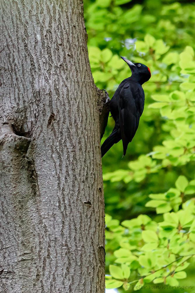 zwarte specht - Deze zwarte specht zit voor een holte. Helaas is ie hier niet gaan broeden. - foto door pvanwieringen op 27-02-2021 - deze foto bevat: natuur, specht, dieren, vogel, holte