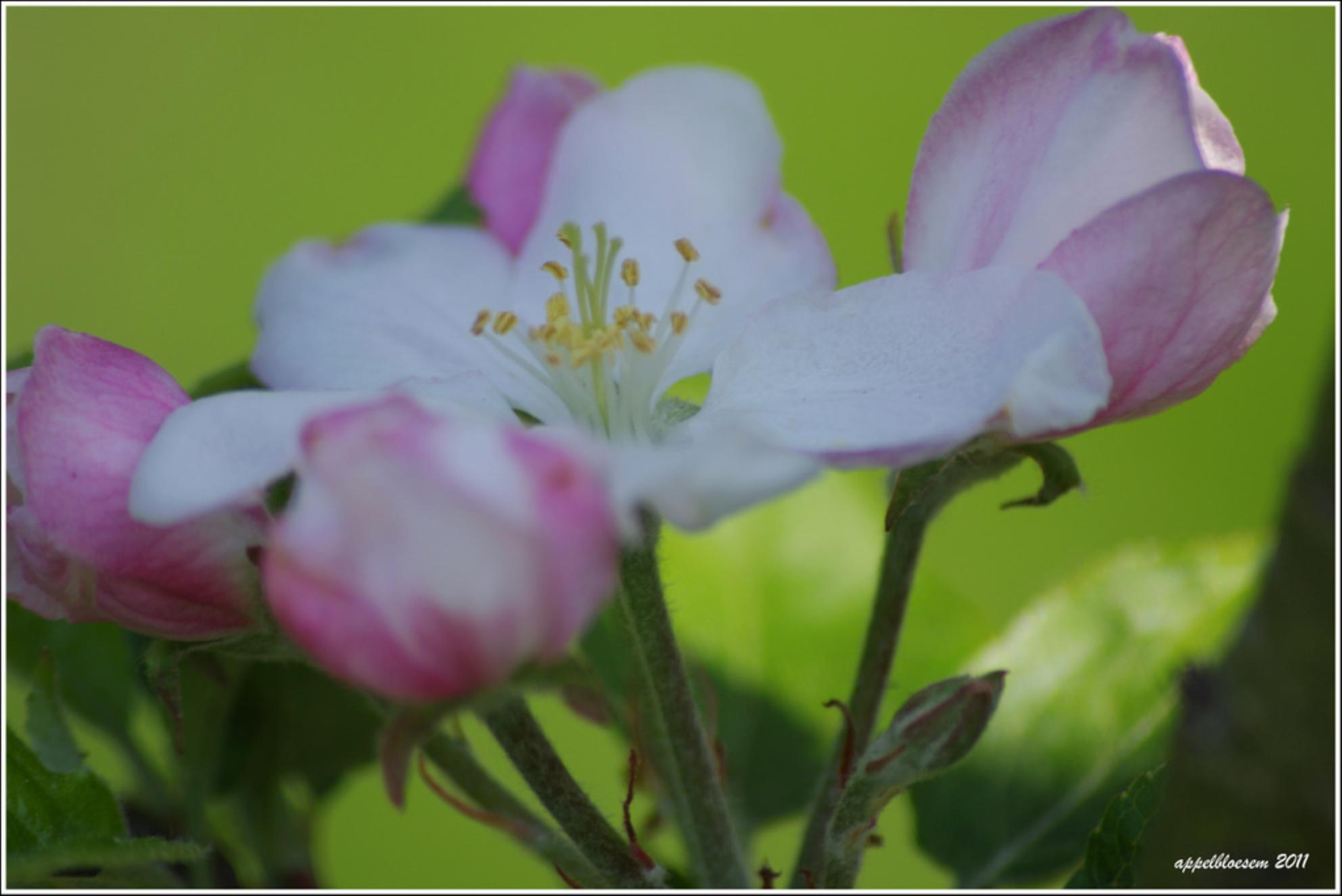 Fijne Paasdagen - Fijn Paasdagen iedereen. We kunnen in ieder geval van het heerlijke weer genieten.  Deze bloesem is van de appelboom. - foto door sjoukelien123 op 23-04-2011 - deze foto bevat: voorjaar, appelbloesem - Deze foto mag gebruikt worden in een Zoom.nl publicatie