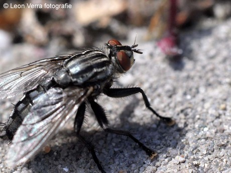 Fly on rock