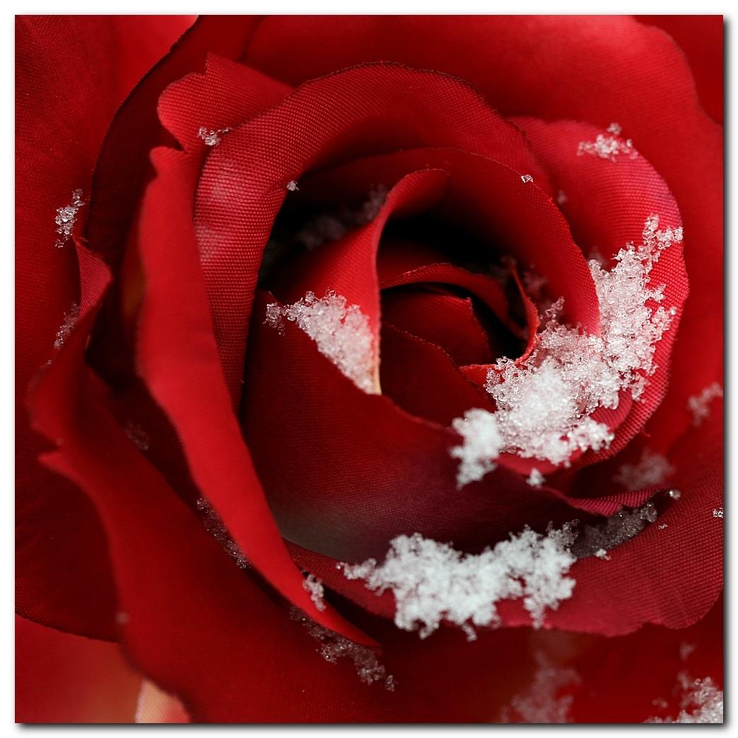 Sneeuwroos - Deze keer met sneeuw en close-up in de bloem. - foto door MarnixBakker op 16-02-2010 - deze foto bevat: bloem, roos, stekel