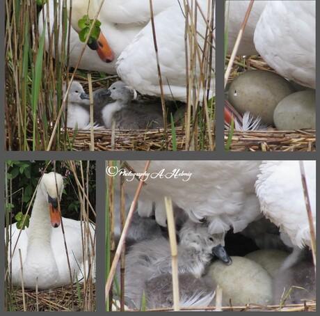 Zwaantjes komen uit het ei