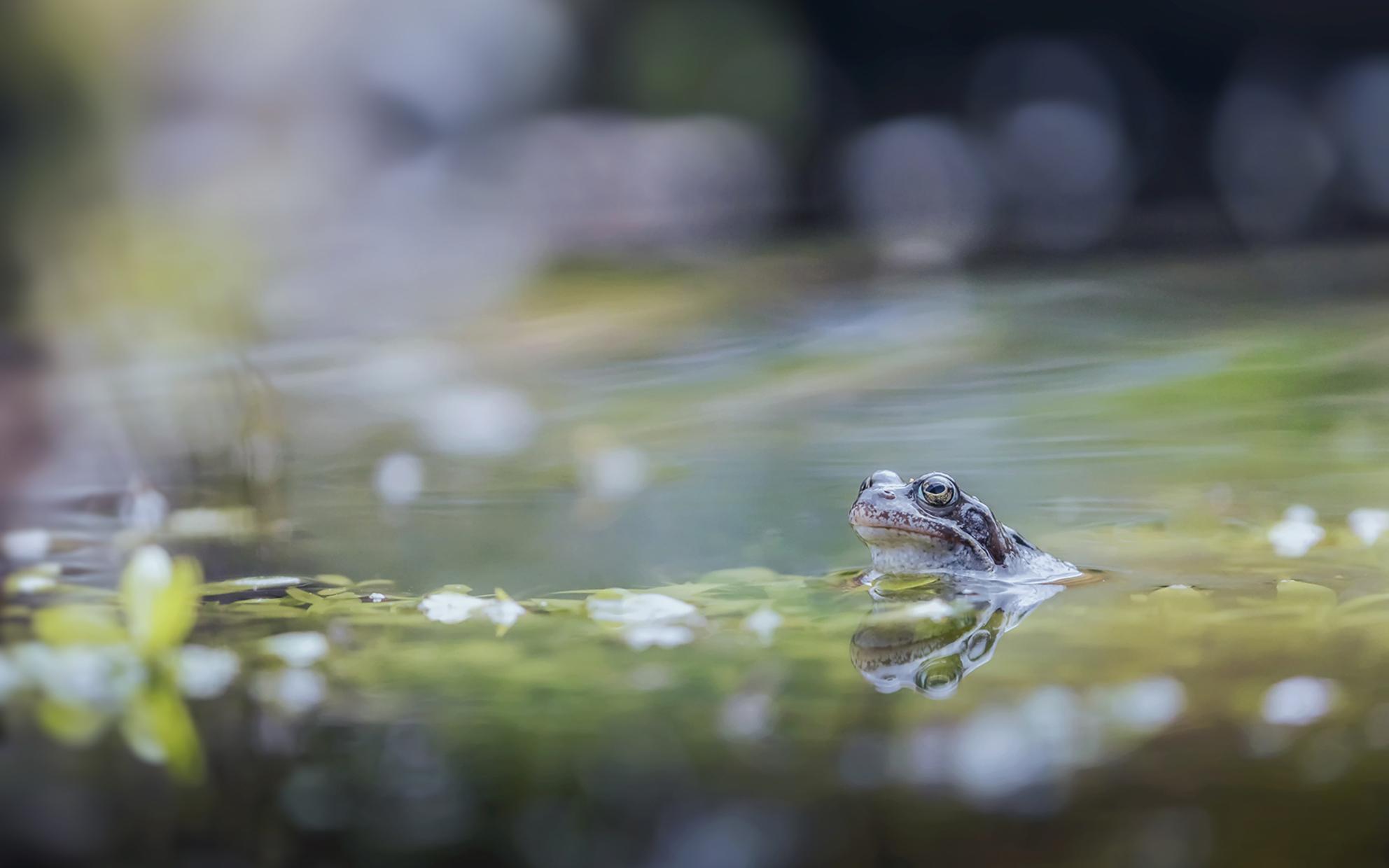 Vol verwachting .... - Vol verwachting klopt zijn hart, zal de ware voorbij komen deze lente. Deze foto is voor de sneeuw genomen toen de temperatuur nog redelijk was. De v - foto door h.meeuwes op 07-04-2021 - deze foto bevat: kikker, vijver, tuin, groot diafragma, water, voorjaar, lente, kleuren, zacht, bokeh, sfeer, reflectie, spiegeling, water, vloeistof, kikker, echte kikker, bek, vloeistof, pad, fabriek, waterloop, amfibie