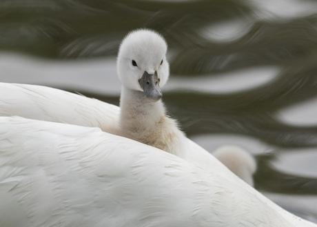 Meeliften op moeders rug