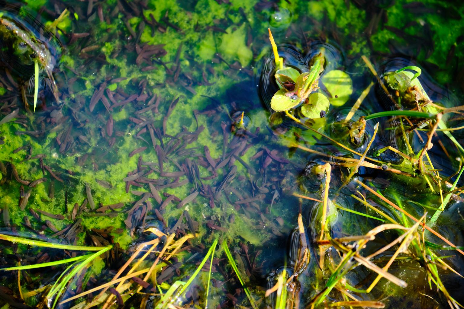 Er groeit iets in de vennetjes (1) - Meijendel - foto door Eugenio op 12-04-2021 - deze foto bevat: natuur, vennetje, kikker, landschap, water, fabriek, terrestrische plant, gras, waterplant, bodembedekker, natuurlijk landschap, takje, bloeiende plant, niet-vasculaire landplant