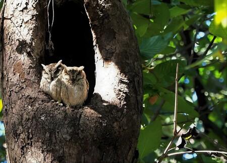 Mijn Reisen - Dit zijn uilen die daar in India voor komen er zijn  er heel wat meer  dan  hier bij ons    Dit is  Gekraagde dwerg oor uil  ze zaten  mooi zo met zi - foto door Stumpf op 09-04-2021 - locatie: India - deze foto bevat: takje, organisme, hout, kofferbak, knaagdier, boom, terrestrische plant, staart, eekhoorn, bek