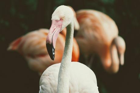 Flamboyante flamingo