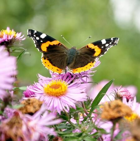 atalanta - vlinder - foto door mploeg-2701 op 08-04-2021 - locatie: Nieuwerkerk aan den IJssel, Nederland - deze foto bevat: bloem, fabriek, bestuiver, insect, vlinder, geleedpotigen, plantkunde, bloemblaadje, natuur, motten en vlinders