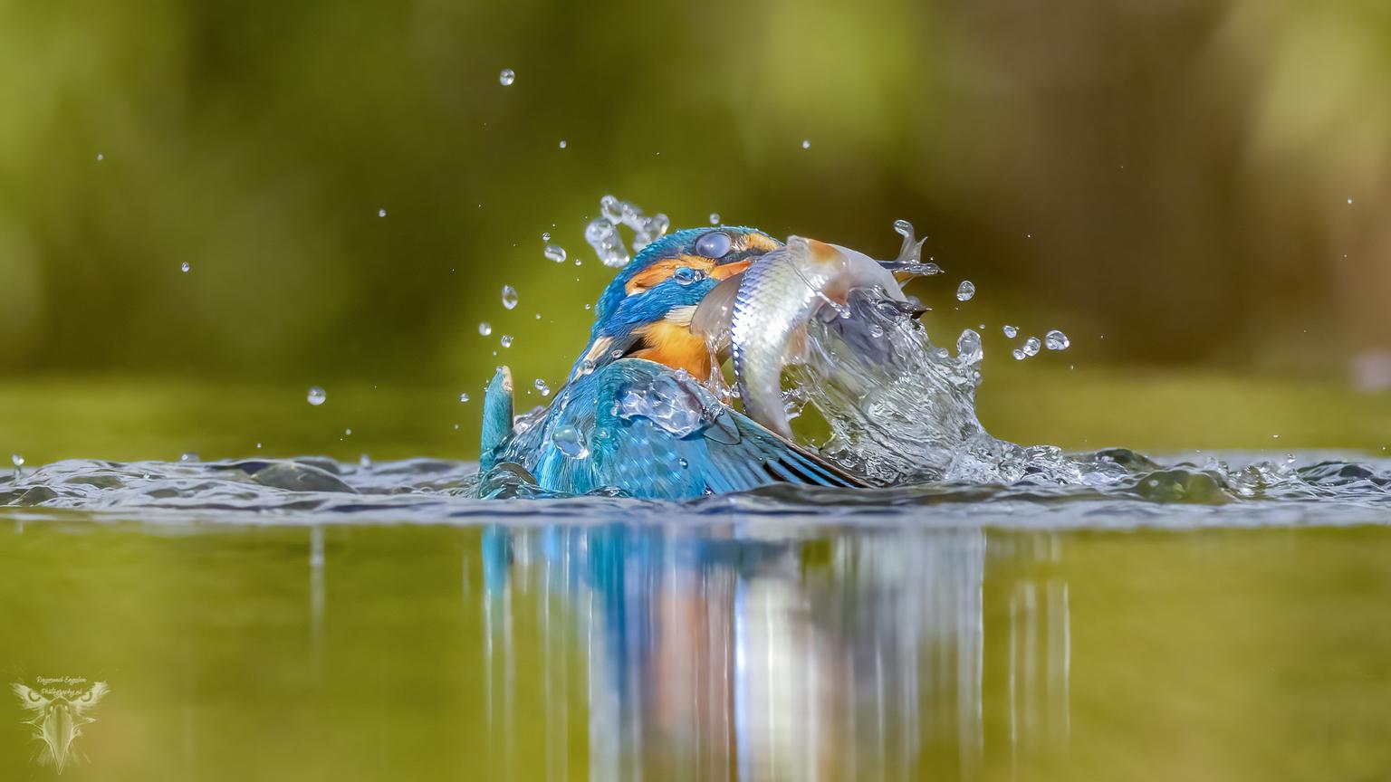 ijsvogel - ijsvogel met visje  - foto door Raymond50 op 13-04-2021 - deze foto bevat: ijsvogel, kingfisher, water, vloeistof, gewervelde, bek, vloeistof, natuurlijk landschap, lichaam van water, meer, waterloop, vogel