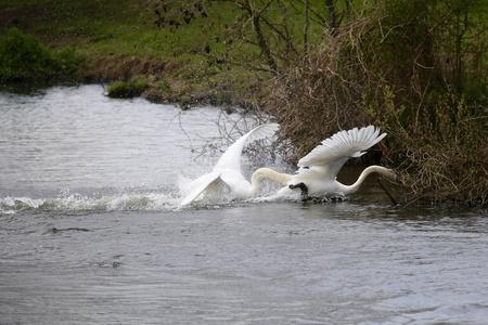 Zwanen - Agressie - foto door Ebben op 16-04-2021 - deze foto bevat: water, vogel, bek, meer, watervogels, fabriek, veer, eenden, ganzen en zwanen, pelecaniformes, pelikaan