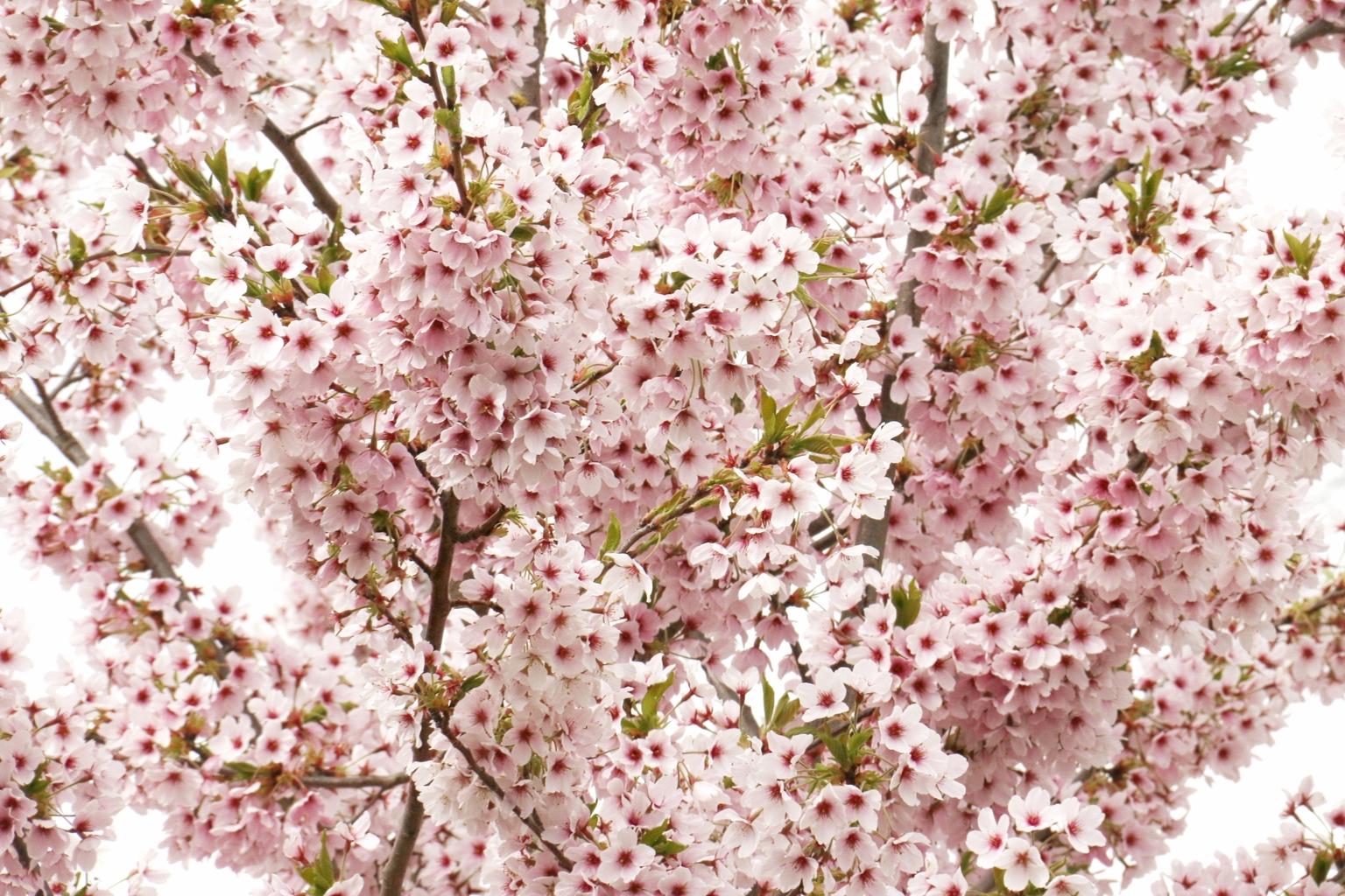 bloesem - voorjaar 2021 - foto door onne1954 op 09-04-2021 - deze foto bevat: bloem, fabriek, bloemblaadje, afdeling, takje, roze, bodembedekker, struik, bloeiende plant, gras