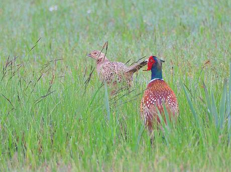 fazant haan + hen