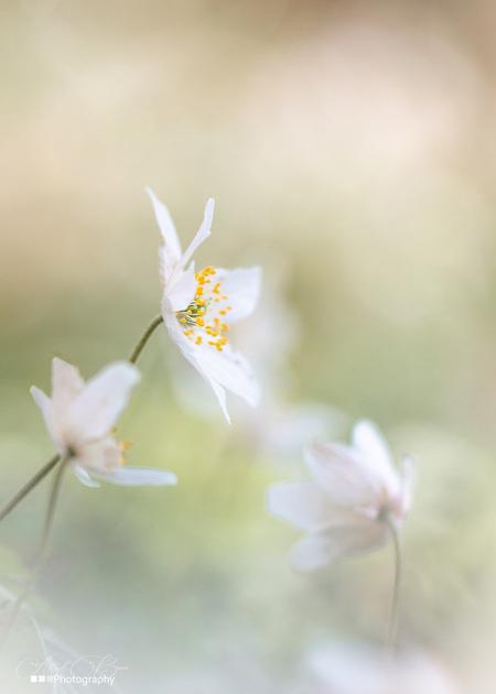 Bosanemoon - Een lieftallig wit voorjaarsbloemetje ... blijft mijn favoriet - foto door AstridBroer op 12-04-2021 - deze foto bevat: macro, bloemen, wit, voorjaar, park, bosanemoon, licht, bokeh, zacht, flora, natuur, bloem, fabriek, bloemblaadje, takje, terrestrische plant, pedicel, kruidachtige plant, bloeiende plant, gras, macrofotografie