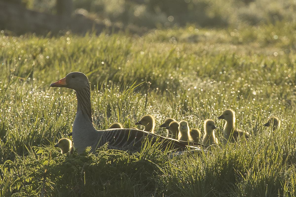 Goodmorning - In alle vroegte moeder Grauwe Gans met haar jong. In het tegenlicht in het nog natte gras. - foto door TourDeFrans op 17-04-2021 - locatie: 2974 Brandwijk, Nederland - deze foto bevat: gans, grauwe gans, polder, tegenlicht, ochtend, lente, vogel, fabriek, bek, natuurlijk landschap, gras, terrestrische dieren, eenden, ganzen en zwanen, gelukkig, grasland, watervogels