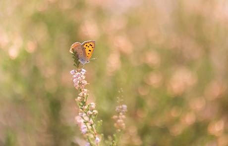 Vlinders op de heide (4)