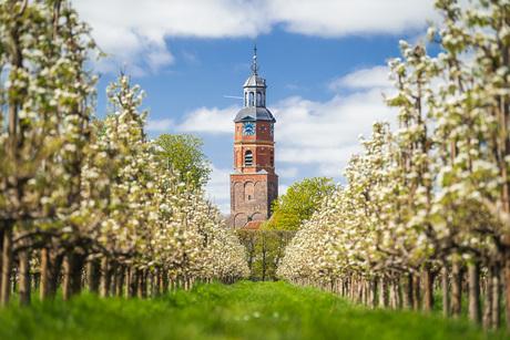 Bloesem in de Betuwe met kerktoren
