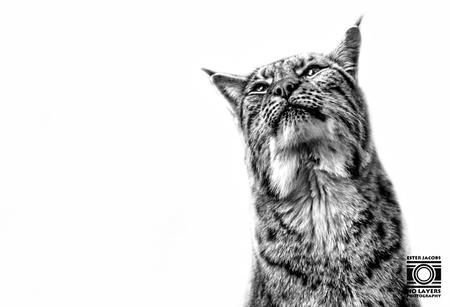 Lynx - Lynx - foto door NoLayersPhotography op 13-04-2021 - deze foto bevat: dieren, lynx, portret, close up, zwart wit, kat, carnivoor, felidae, kleine tot middelgrote katten, bakkebaarden, terrestrische dieren, staart, boom, binnenlandse kortharige kat, vacht