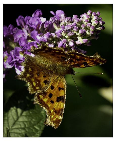 vlinder op bloem........................