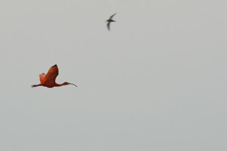 De rode ibis