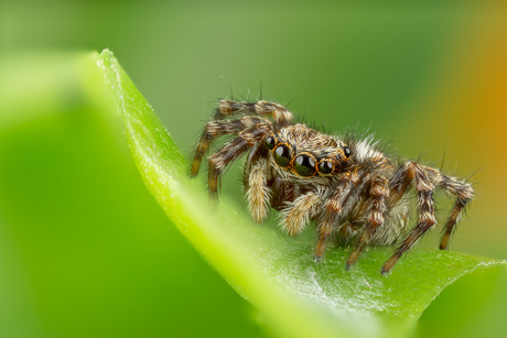 Springspin (Salticidae)