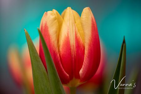 Tulp - Deze foto is gemaakt in huis. Ik had een fantastische tulpenbos gekocht en hiermee kon ik aan de slag. Met mijn camera en macrolens in de hand op zoe - foto door Vienna op 10-04-2021 - locatie: Krimpen aan den IJssel, Nederland - deze foto bevat: macro, close-up, tulp, tulpen, bloemen, macro fotography, nikon, bloem, fabriek, bloemblaadje, roze, terrestrische plant, magenta, bloeiende plant, gras, natuurlijk landschap, waterplant