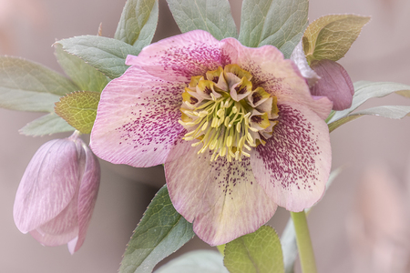 Kleurrijke bloem - prachtig zoals ze er nu uitzien - foto door tillaart op 10-04-2021 - deze foto bevat: bloem, fabriek, bloemblaadje, plantkunde, terrestrische plant, bloeiende plant, detailopname, rose familie, kamerplant, rose bestelling