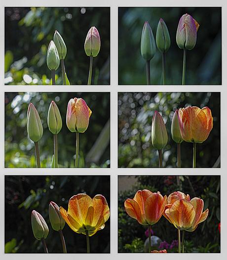 Tulp bij het openen