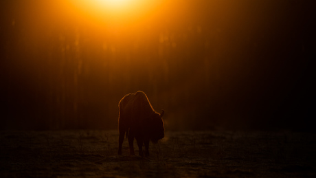 Wisent in the morning
