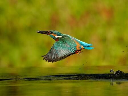 IJsvogel, net uit het water met een klein visje - IJsvogel, net uit het water met een klein visje. - foto door geld1846 op 02-11-2019