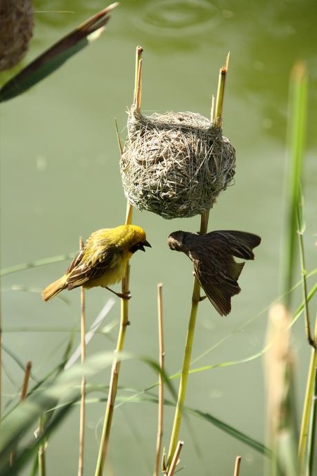 textorwever bewaakt nest