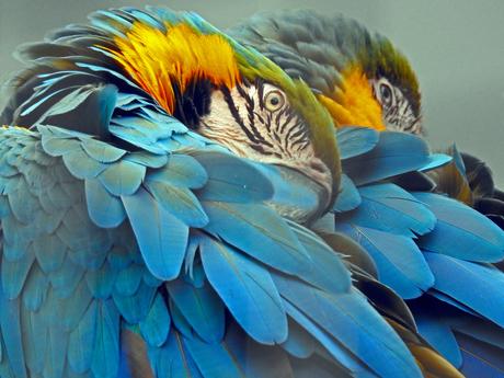 De blauwe Ara