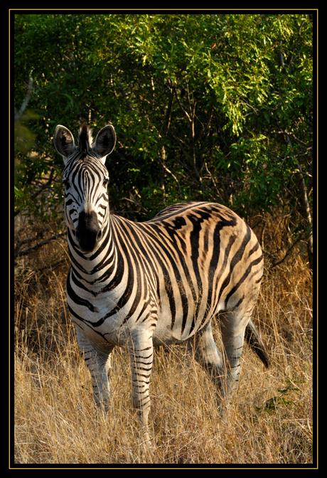 Zebra in Krugerpark