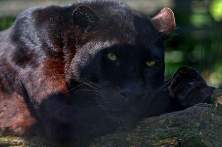 Black beauty - - - foto door wd1956 op 27-01-2019 - deze foto bevat: panter, zwart, dieren
