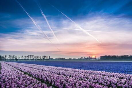 Bollenvelden bij zonsopkomst