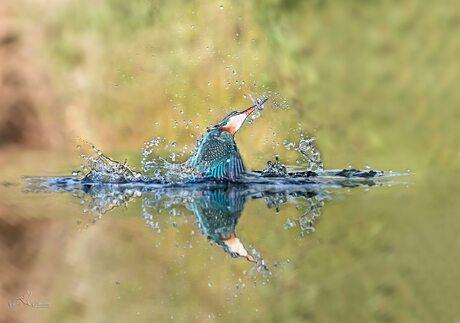 IJsvogel na een succesvolle duik