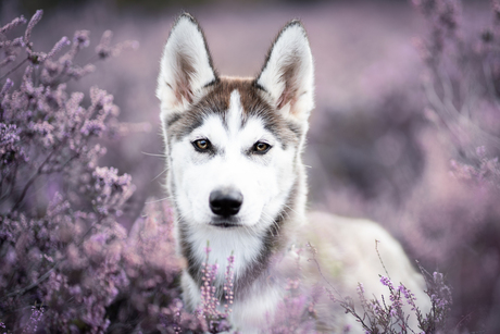 Husky pup in the heather